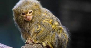 Descubren en Ecuador al primate más pequeño del mundo